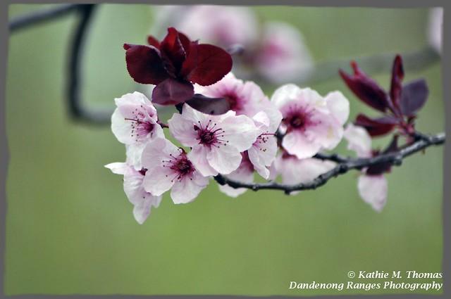 224-365 Cherry blossom