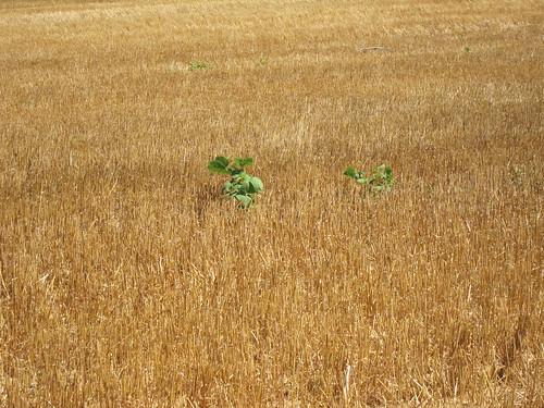 Weeds in cut wheat field