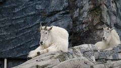 Mountain Goat (biancamagalhaes) Tags: canada calgary animal zoo