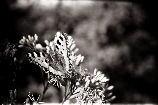 Holga Butterfly.