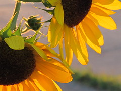Late Day Sun.... (ccindigirard) Tags: friends sunflowers aclass flowerlovers fantasticflower royalgroup earthhome flowerwatcher flickrsfantasticflowers mymagicyellowdress flowersarefabulous qualitypixels photosofqualitytosmileabout awesomeblossoms seasonsmagic composersbreath artselectedbyadministrators