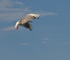 gull (paolo.carlini) Tags: