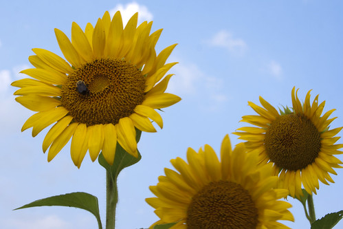 07222011JGW-BannerMarshNorthEastAccess-Sunflowers-Bee_MG_1248