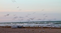 gulls (paolo.carlini) Tags: