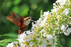 they're back! (christiaan_25) Tags: flowers white blur green nature sunshine bug garden insect wings wildlife blossoms moth lepidoptera sphingidae macroglossinae nectar blooms sphinxmoth butterflybush buddleiadavidii pollination hemaristhysbe hummingbirdclearwingmoth dilophonotini