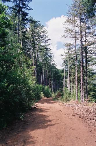 European black pine