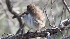 An Itchy Female White-winged Fairy-wren (WA47) Tags: australia westernaustralia passeriformes burnsbeach malurus maluridae whitewingedfairywren malurusleucopterus malurusleucopterussspleuconotus