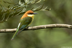 Chestnut-headed Bee-eater (Radha Rangarajan) Tags: birds aves avian beeeater valparai merops chestnutheadedbeeeater meropsleschenaulti kalyanvarma nikond90 nikkor70300mmvr radharangarajan