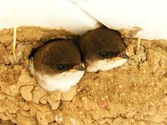 Junge Mehlschwalben, NGIDn190899737 (naturgucker.de) Tags: deutschland mecklenburgvorpommern delichonurbica rgen mehlschwalbe naturguckerde carmindreisbach ngidn190899737