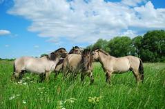 7 (Bargais) Tags: wild horses cloud tree nature landscape island latvia latvija jelgava pilssala