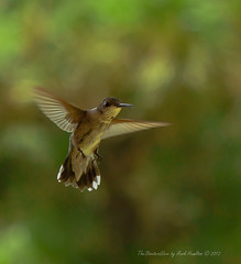 Hummingbird 1 (TheShootersView) Tags: nature birds hummingbirds humingbirds dovecreek tankersleytexas