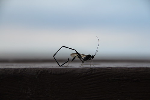 Pelecinid Wasp (Pelecinus polyturator)