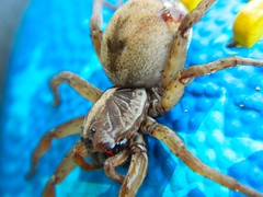 Wolf Spider with stars in its eyes (pfarrell95) Tags: bug insect spider wolf