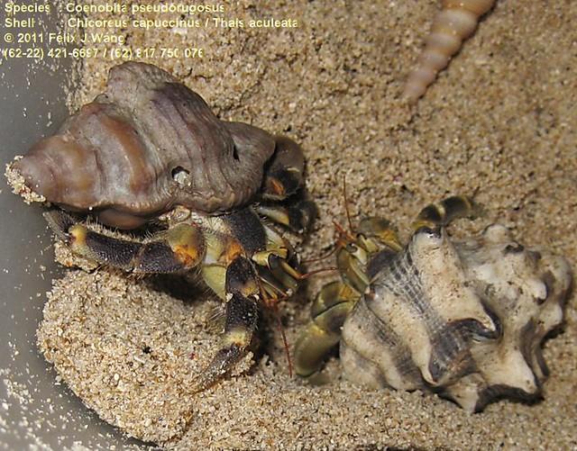 C.pseudorugosus