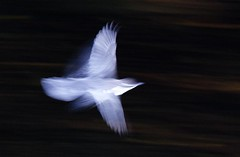 Flying at speed (Steve-h) Tags: dublin bird art tourism nature speed river design europe slow tourists recreation panning aerlingus dipper dodder steveh canoneos5dmk2 doublyniceshot doubleniceshot canonef100mmf28lmacroisusm tripleniceshot mygearandme mygearandmepremium mygearandmebronze mygearandmesilver mygearandmegold mygearandmeplatinum mygearandmediamond 4timesasnice 6timesasnice 5timesasnice 7timesasnice