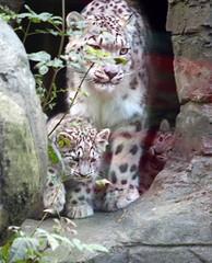 Mum & cubs Marwell Zoo (jhnwkfrd) Tags: cats animal cat feline september leopard bigcat felines bigcats snowleopard marwellzoo 2011 flickrbigcats
