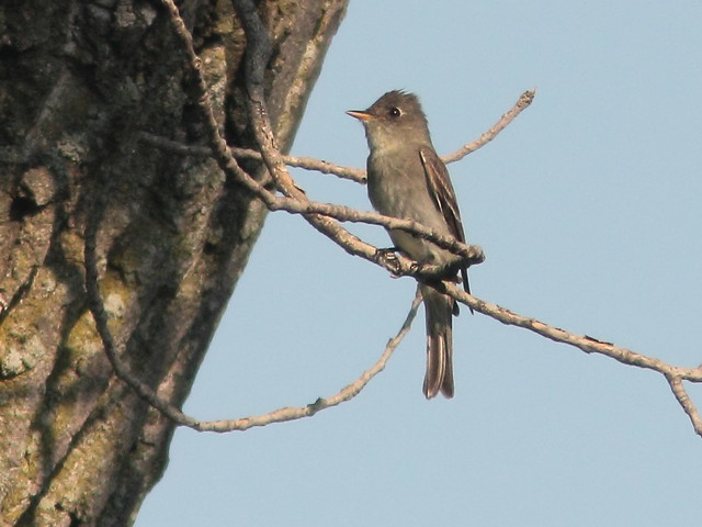 Eastern Wood-Pewee 2-20110903