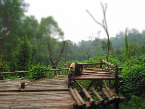 Chengdu - Giant Panda Base