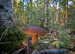 A walk in the woods (Mika Hirsimki) Tags: autumn trees fall ex nature forest canon suomi finland landscape mushrooms woods mark sigma wideangle september ii 5d fi tampere 1224mm mets dg syksy luonto sieni 2011 puut sienet syyskuu f4556 hsm sigma1224mmf4556exdghsm pirkanmaa laajakulma sieni canon5dmarkii