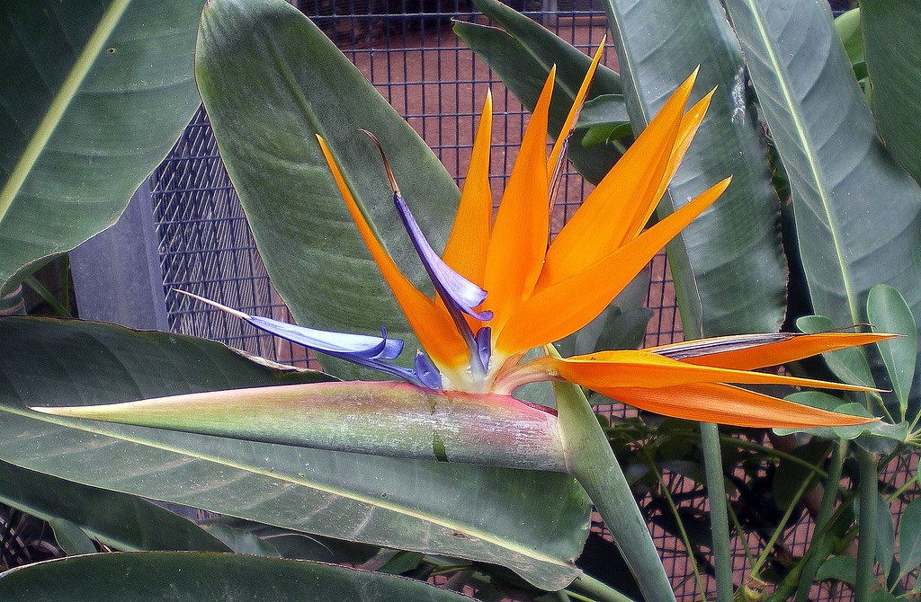 Strelitzia - Bird of Paradise Flower.