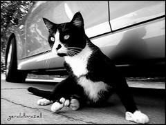 Whoa! That sweet little birdie seems to be in distress.... (geraldbrazell) Tags: blackandwhite pet cat tuxedocat alert sixtoedcat geraldbrazell blinkagain bestofblinkwinners