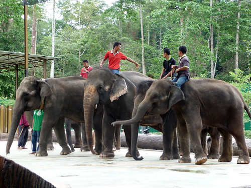Kuala Gandah Elephant Sanctuary - rescued elephants