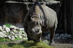 Black rhino (rhino!) Tags: chicago grass rocks badass rhino heavy lincolnparkzoo rhinoceros herbivore dicerosbicornismichaeli nikond7000