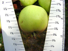 M.27 EMLA Apple measure
