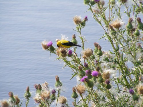 The goldfinch and thistle