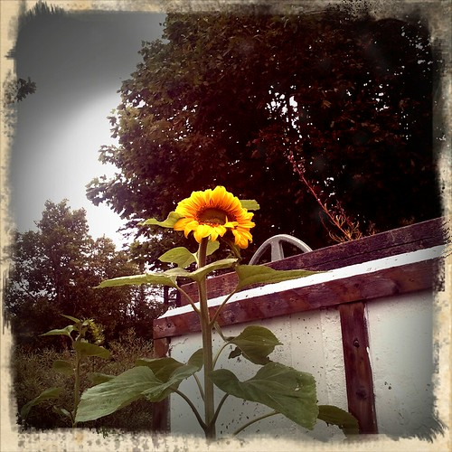 Sunflower in the rain (48)