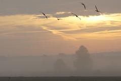 Gnse im Nebel (izoll) Tags: nebel outdoor sony natur himmel sonnenaufgang morgen gnse morgenstimmung naturaufnahmen heidenfahrt nebelstimmung alpha580 izoll nebeldunst