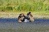 Grizzly cubs at play #2 (vijay_SRV) Tags: grizzly brownbear grizzlybear ursusarctoshorribilis glendalecove