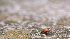 sur la route, la la lala lala... (Jordn) Tags: macro canon beetle 7d ladybug insecte coccinelle balzac angers coccinellidae harmoniaaxyridis 100mmf28usm macrolife