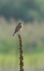 Stiaccino (giansacca) Tags: birds animals aves uccelli animaux animali vogel oiseaux whinchat saxicolarubetra braunkehlchen tarabillanortea stiaccino tarierdesprs