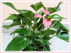 Pink Anthurium - a dwarf variety, newly added to our garden, Sept 6 2011