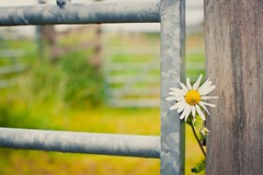 Hey you! (MoreThanOneView) Tags: wood plant flower field metal fence scotland europa farming landwirtschaft pflanze feld wiese material agriculture blume zaun holz landschaft metall cairn gorm tomintoul schottland acker cairngorm grosbritannien meadowgrassland