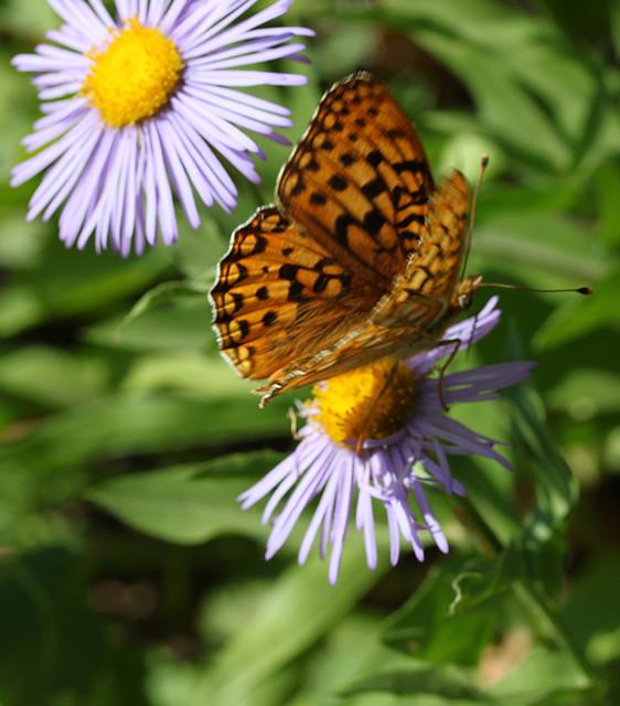 butterfly on fleabane