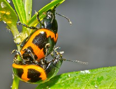 Labidomera clivicollis in copula (entomopixel) Tags: insect lepidoptera escarabajo insecto chrysomelidae swampmilkweedbeetle cucarron crisomelido