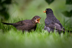 I LOVE Mealworms!!! (izzy's-photos) Tags: baby feeding blackbird blackie begging greed mealworm fledgeling blinkagain