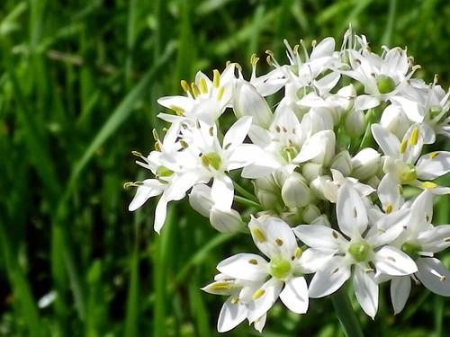 ニラの花4