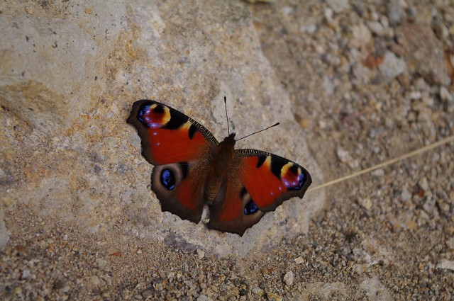 クジャクチョウ 孔雀蝶