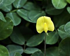 Arachis pintoi (Man forrajero) (PAL1970) Tags: flower macro yellow canon flor amarillo eos50d pal1970