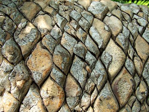 oldest cycad trunk