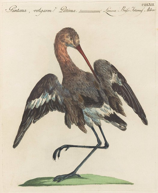 hand-coloured 18th c engraving of a Godwit (bird)