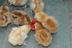 DSC_0268 (TheBosque) Tags: chickens babies chicks rabbits rhodeislandred rhodeislandreds faceaug1 raisingchickensandrabbits raisingrabbitsandchickens virtualbosque