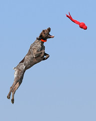 Bailey in the air (The_Little_GSP) Tags: dog pointer shorthair germanshorthair gsp wubba germanshorthairedpointer dockdogs impressedbeauty littlegspphotography