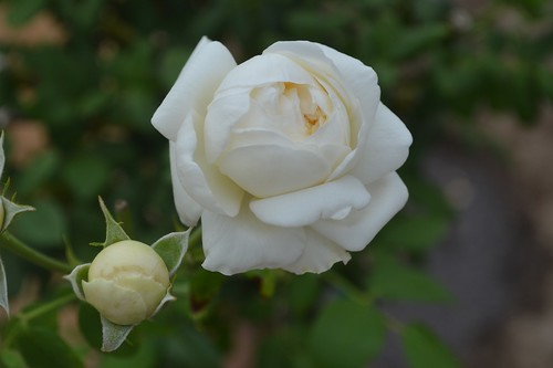 Clair Austin roses