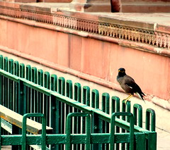 Shalik Bird , Red Fort . Delhi , India (Shounak Ray) Tags: red sun green bird architecture fort railing mughal pakhi salik shalik