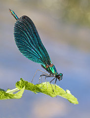Beautiful Demoiselle (Greenwings Wildlife Holidays) Tags: macro male nature greek dragonfly metallic wildlife greece odonata beautifuldemoiselle calopteryxvirgo greenwings mattberry photocontesttnc11 thenatureofgreece greenwingsco