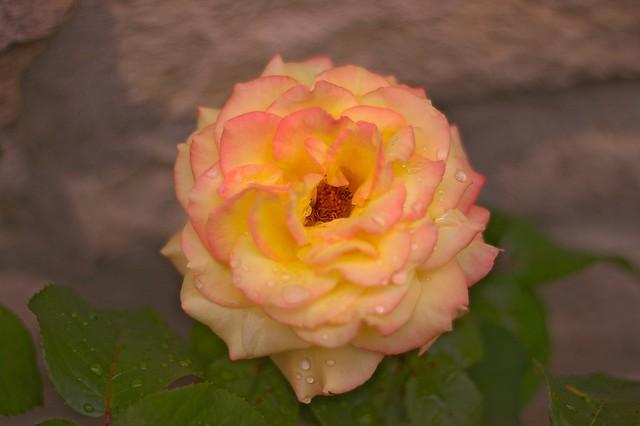 Rose jaune 2 jours plus tard